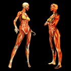 ¿Qué órganos componen el sistema muscular?