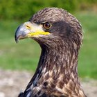 ¿Cómo se desarrollan los polluelos de águila calva?