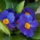 El desarrollo de los granos de polen y óvulos en flores