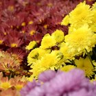 How to Decorate With Mums for a Fall Wedding