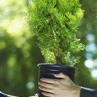 ¿Cuál es la ventaja de la fotosintesis C4?