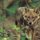 ¿Qué estudios necesitas para ser un biólogo de la vida silvestre?