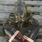 When Does a Lobster Molt?