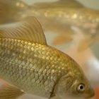Lista de alimentos que pueden comer los peces dorados
