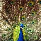 Diferencias visuales entre los pavo reales machos y hembras