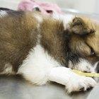 Medicamentos que se utilizan para poner tus mascotas a dormir