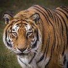 Adaptaciones y características del tigre siberiano