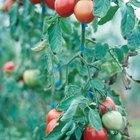 How to Soften Tomatoes