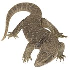 ¿Qué adaptaciones tienen los lagartos que les permiten vivir en el desierto?