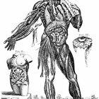 ¿Qué afecta a la fuerza de contracción del músculo esquelético?