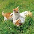 Antibióticos para la hepatitis felina