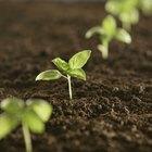 Ciclo de vida de la semilla de frijol para los niños