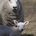 How to Raise Sheep on Small Acreage for Profit