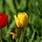 Cómo secar tulipanes