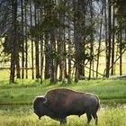 Hábitat del bisonte