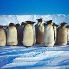 La importancia de los pingüinos reales en el ecosistema