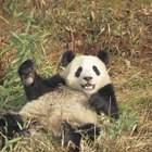 La cadena alimenticia de los pandas gigantes