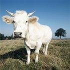 ¿Cuál es la diferencia entre una vaca y un toro?