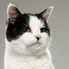 Cuáles son los tratamientos para el acné de la barbilla de un felino