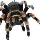 ¿Cómo identificar por su abdomen a las arañas peligrosas?