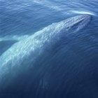Razones por las que la ballena azul está en peligro