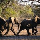 Requerimientos de hábitat para un elefante africano