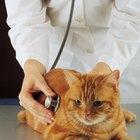 Tratamiento para el prolapso anal de un gato
