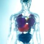 Funciones del riñón relacionadas con el sistema circulatorio del cuerpo humano