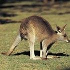 Hábitat natural del canguro