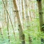 Qué es la madera de haya