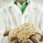 Relación entre la L-tirosina y la dopamina
