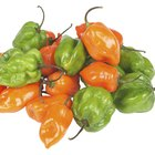 Can I Eat the Seeds of a Habanero Pepper?