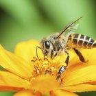 Cómo tomar polen de abejas para perder peso