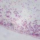 Cuál es el tiempo de vida de una bacteria