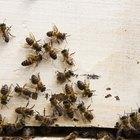 Partes del cuerpo de una abeja