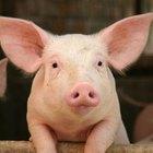 Ciclos de vida de los cerdos