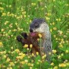 ¿Qué comen las marmotas?
