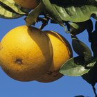 ¿Qué frutas y verduras crecen en Texas?