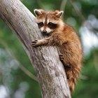 El comportamiento de cortejo de los mapaches