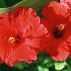 ¿Qué cantidad de hibiscus debo tomar para bajar la presión arterial?