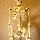 Juegos sobre el esqueleto humano para niños