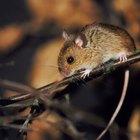¿Muerden los ratones?