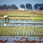 Cómo hacer agua de arroz para la diarrea