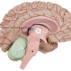 Información acerca del cerebro para niños