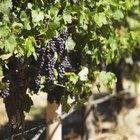 ¿Cuáles son los beneficios para la salud de las uvas negras sin semilla?