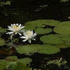 ¿Cuáles son los beneficios de la flor de loto según la medicina ayurveda?