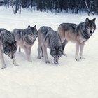 Datos sobre el lobo mexicano para niños
