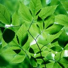 ¿Cómo afecta la fotosíntesis la homeostasis en un organismo viviente?