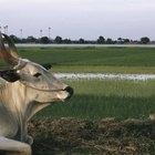 ¿Qué es la joroba que tienen los bovinos Brahman?
