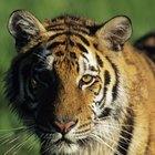 Diferencias entre el tigre y el león